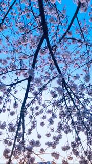 空,春,桜,樹木