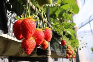 いちご,苺,フルーツ,野菜,果実,いちご狩り,新鮮,ストロベリー,フレッシュ