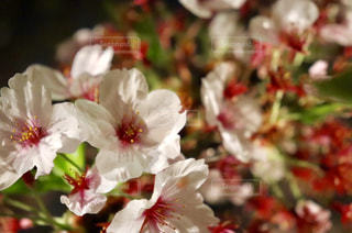 自然,公園,花,春,桜,屋外,花見,夜桜,お花見,福岡,ライフスタイル,葉桜