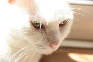 猫,動物,屋内,白,美しい
