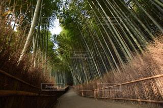 嵐山の竹林の写真・画像素材[1667769]