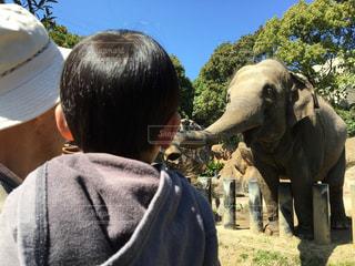 象を見るの写真・画像素材[1654446]