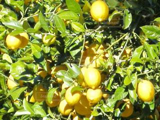 レモン畑 オーストラリアの写真・画像素材[1804546]