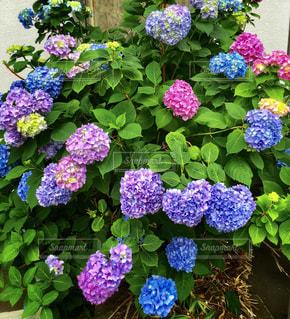 紫陽花の花の写真・画像素材[1809780]