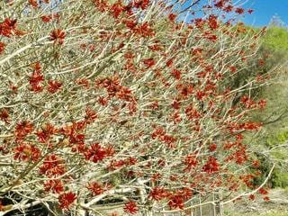 自然,風景,花,冬,植物,赤,山,旅行,オーストラリア,赤色,海外旅行,ブリスベン,snowflake