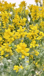 黄色の花の写真・画像素材[1862536]
