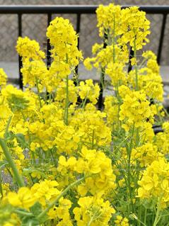 菜の花🌼お写んぽの写真・画像素材[1862552]