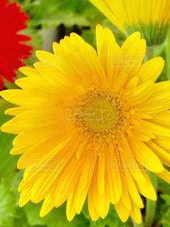 ガーベラの花のアップ🌼の写真・画像素材[1862634]