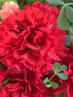 赤いカーネーション、母の日の写真・画像素材[1990600]
