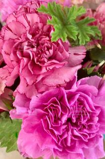 ピンク色のカーネーション、母の日の写真・画像素材[1990715]