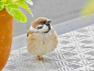 ミルクティー色の小鳥、すずめの写真・画像素材[1991123]