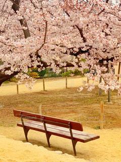 満開の桜🌸木製のベンチの写真・画像素材[2878311]