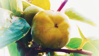 秋,果物,樹木,渋い,果実,甘い,柿,persimmon