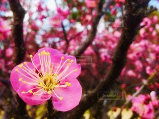 梅の桃色の写真・画像素材[1793248]