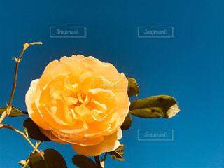 空,大阪,青空,黄色,バラ,薔薇,rose,緑地公園,yellow,服部緑地,豊中