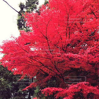 小石川後楽園の紅葉の写真・画像素材[1654130]