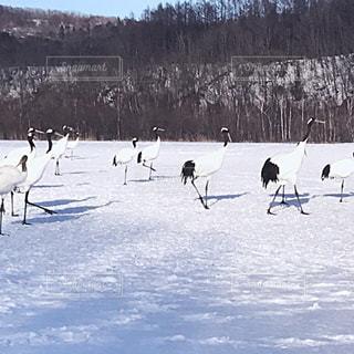 自然,雪,北海道,阿寒湖,丹頂