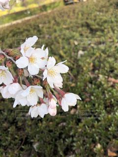 花,春,桜,屋外,白,花見,サクラ,ソメイヨシノ,さくら