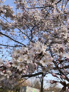 花,春,枝,サクラ,樹木,桜の花,さくら
