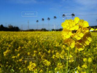 自然,風景,空,花,春,お花畑,花畑,屋外,植物,晴れ,青空,黄色,菜の花,景色,鮮やか,イエロー,菜の花畑,黄,yellow
