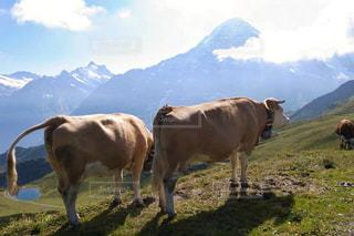 自然,風景,空,動物,絶景,屋外,海外,緑,牛,ヨーロッパ,山,景色,観光,旅行,スイス,海外旅行,グリンデルワルド,グリンデルワルト