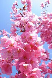 空,春,桜,ピンク,晴天,青,花見