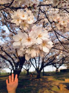 花,春,桜,ピンク,夕暮れ,日本,思い出,桜の花,さくら