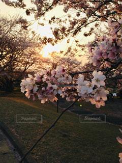 公園,春,ピンク,綺麗,夕暮れ,思い出,草木,桜の花,シャドウ,さくら