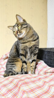 トラ猫の写真・画像素材[1659755]