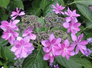 ハートの紫陽花の写真・画像素材[1686549]