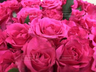 薔薇の写真・画像素材[1792811]