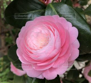 山茶花の写真・画像素材[1793423]