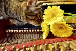 花,屋内,黄色,ピアノ,鮮やか,イエロー,トラ猫,ガーベラ,yellow