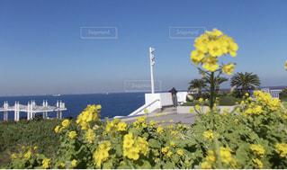 風景,花,黄色,菜の花,観光,旅行,イエロー,海ほたる,yellow