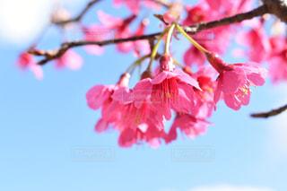 自然,公園,花,春,桜,屋外,花見,お花見,お散歩,緋寒桜