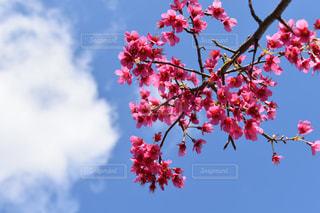 自然,公園,花,桜,屋外,花見,お花見,お散歩,緋寒桜