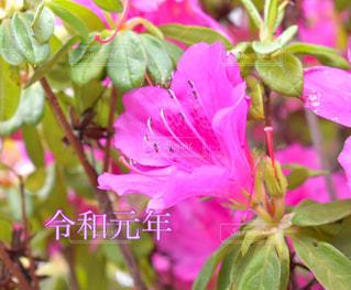 ツツジの花の写真・画像素材[2103815]