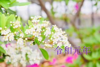 白い花の写真・画像素材[2103818]