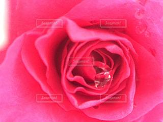 薔薇のクローズアップの写真・画像素材[2110946]
