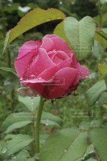 雫が美しい薔薇の写真・画像素材[2179551]
