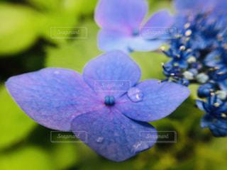 綺麗,あじさい,水滴,紫陽花,梅雨,6月,紫色,purple,アジサイ