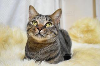 トラ猫のクローズアップの写真・画像素材[2293657]