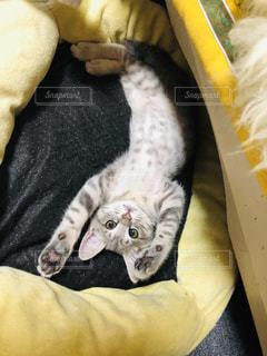 ベッドでくつろぐ仔猫の写真・画像素材[2293934]