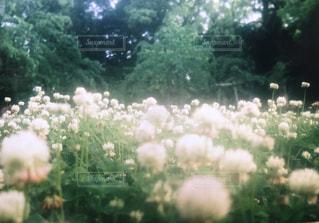 花,フラワー,可愛い,フィルム,はな,シロツメクサ,白色,白詰草,White,フィルム写真,フィルムフォト