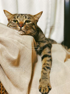 猫,動物,ペット,可愛い,哺乳類,トラ猫,ネコ