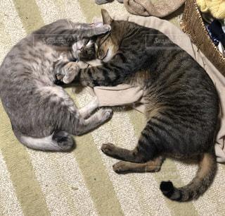猫,動物,ねこ,ペット,人物,可愛い,哺乳類,トラ猫,ネコ,kitty