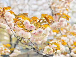 花,桜,綺麗,フラワー,サクラ,flower,八重桜,快晴,pink,さくら