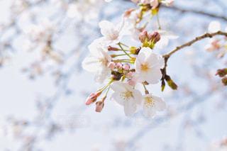 花,春,桜,綺麗,フラワー,サクラ,flower,快晴,さくら