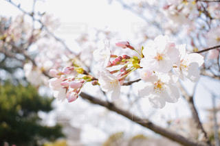 花,春,桜,フラワー,flower,桜の花,さくら