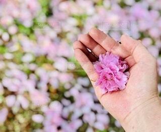 桜,ピンク,フラワー,手持ち,人物,ポートレート,flower,八重桜,ライフスタイル,pink,手元,花の絨毯